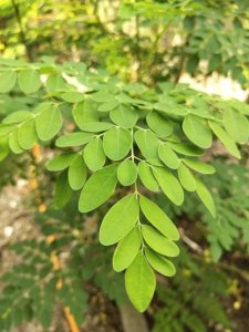 Moringa plant leaves